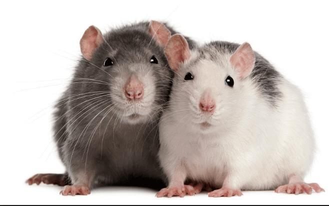 تفسير رؤية الفئران في الحلم