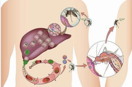 دورة حياة طفيل الملاريا