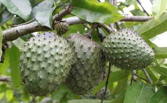 فوائد فاكهة القشطة والطريقة الصحيحة لأكلها بالصور