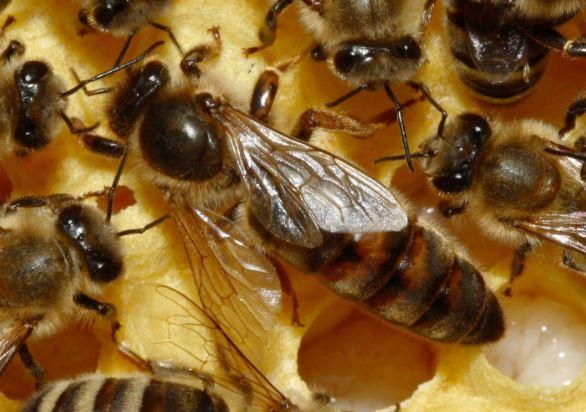 أفضل طرق تناول حبوب ملكات النحل للتسمين لتأتي بثمارها