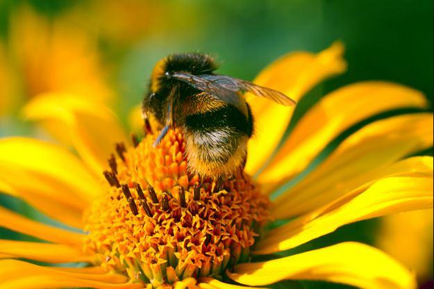 الآثار الجانبية لاستخدام حبوب ملكات النحل للتسمين