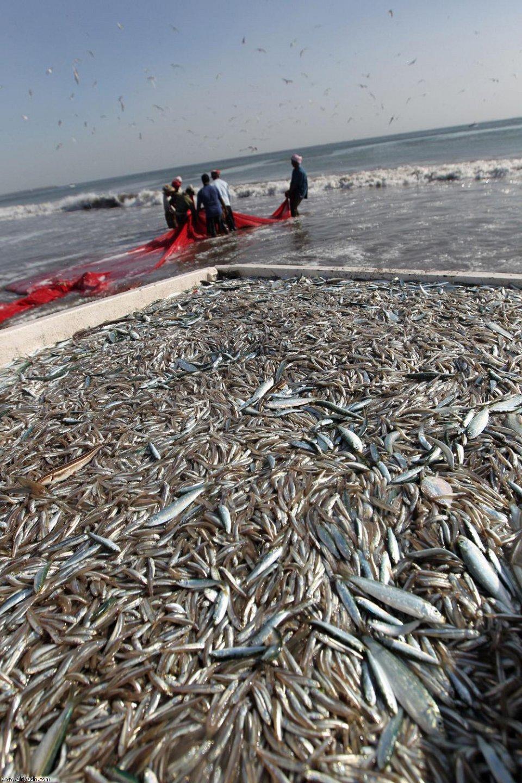 صيد سمك السردين