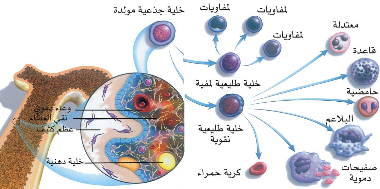 ما هي الخلايا الجذعية