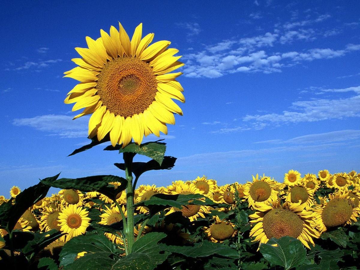 عباد الشمس من أهم النباتات الطبية
