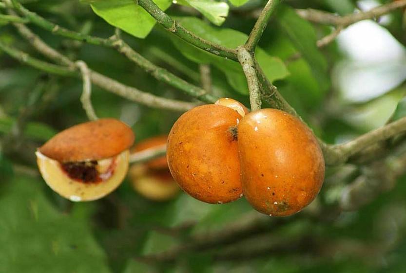 الفوائد الصحية لتفاح آدم