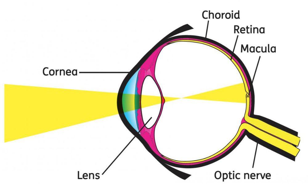 السبانخ يحمي الشبكية في العين