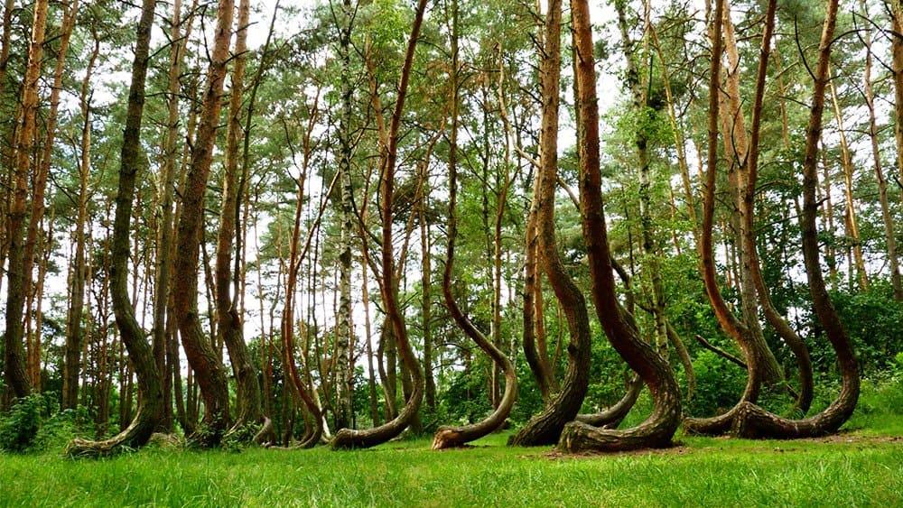 الغابات الملتوية في بولندا