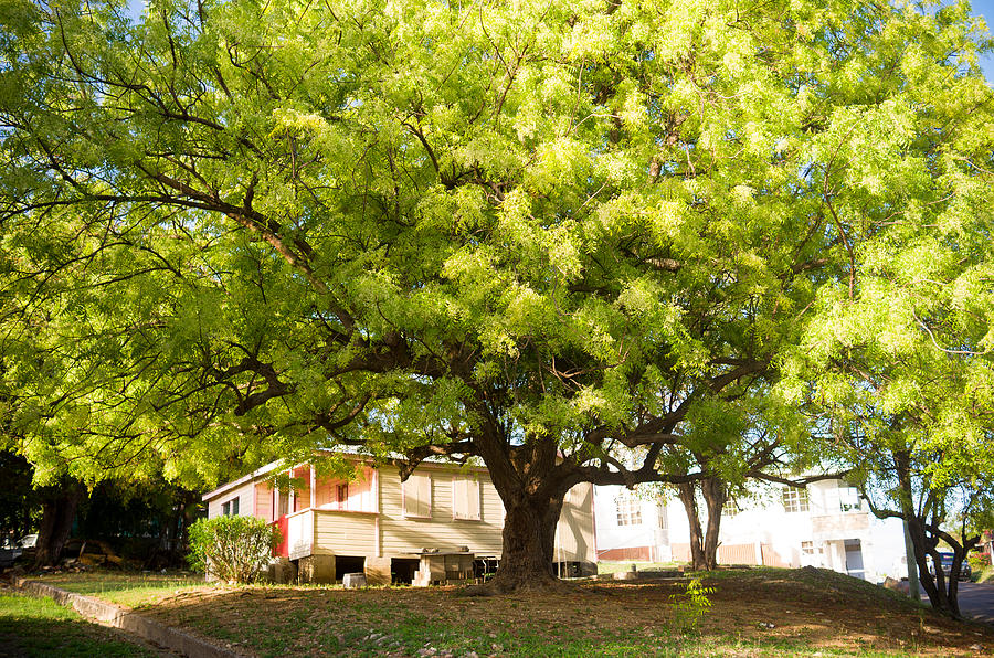 معلومات عن شجرة النيم ستندهش عندما تعرفها مجلتك