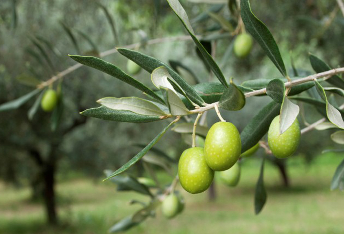 زراعة الزيتون