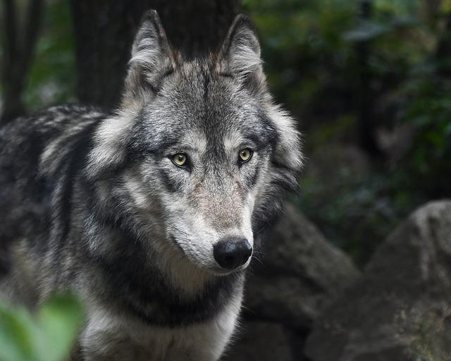 صورة ذئب