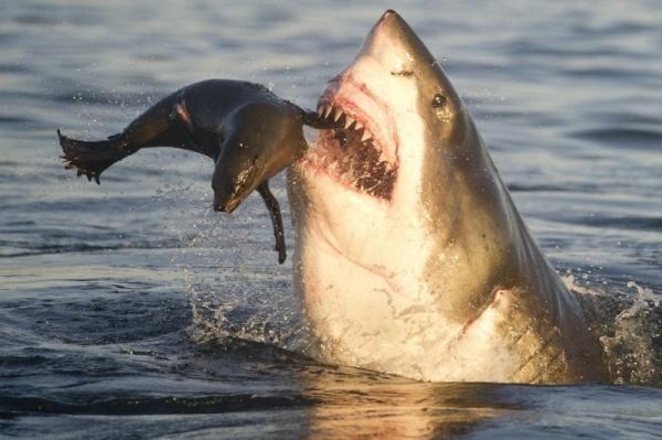 طعام سمك القرش
