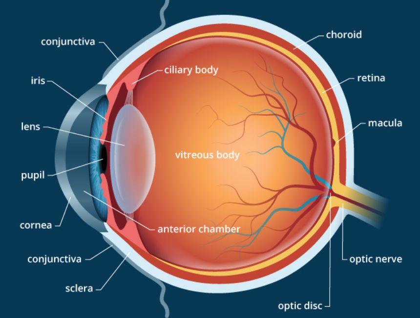 بحث حول العين – التعريف بالعين وبنيتها