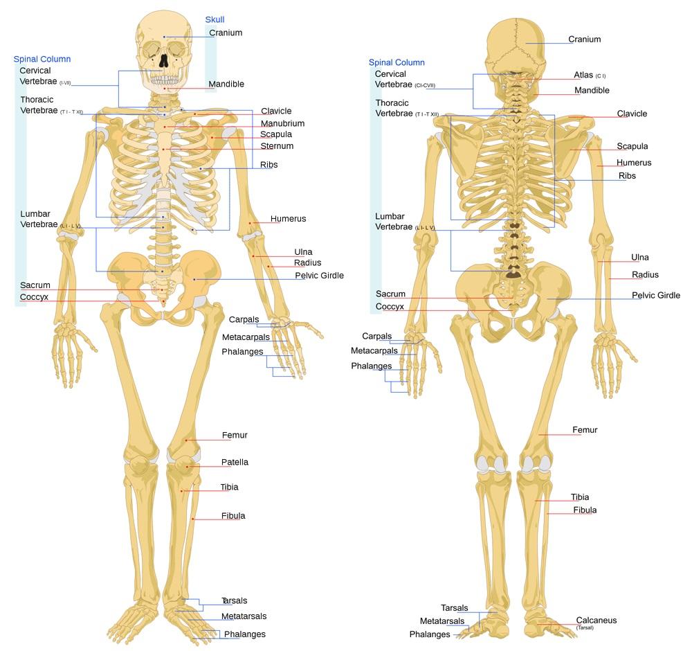 ما هو الهيكل العظمي
