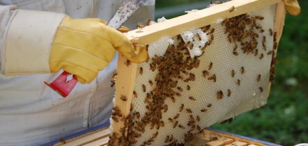 جني شمع العسل