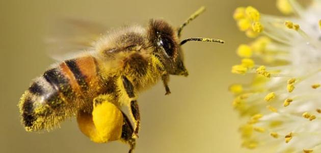 حبوب اللقاح لتغذية النحل