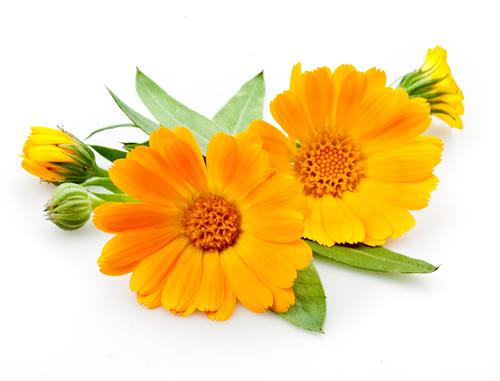 زهرة الآذريون