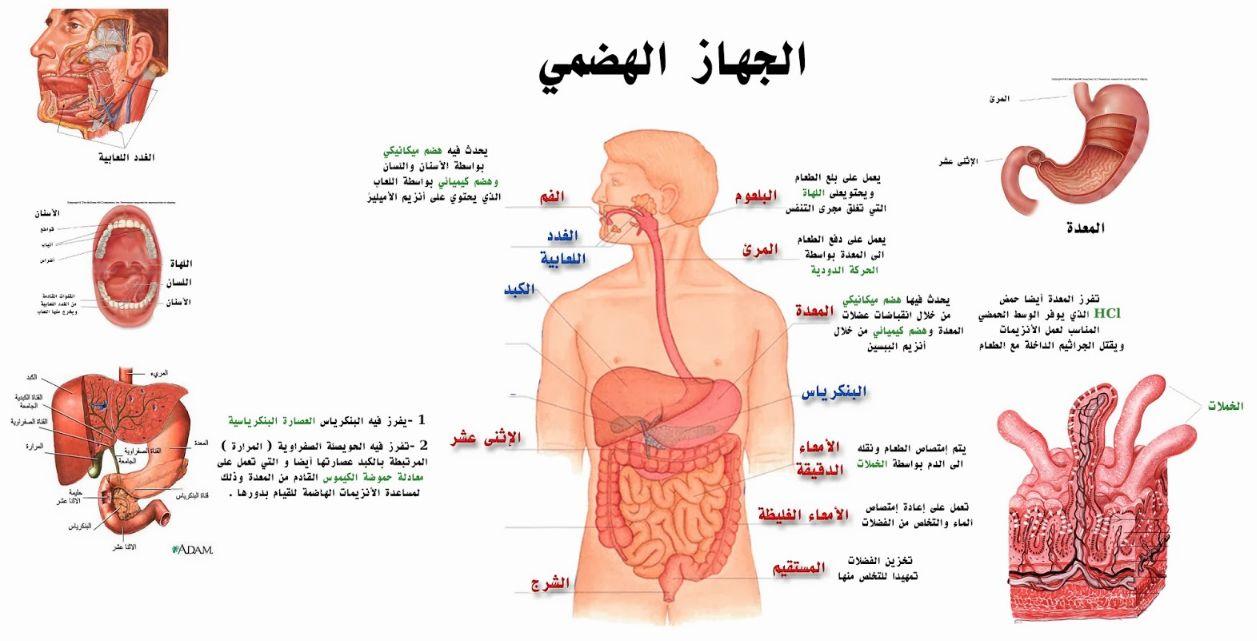سلسلة كيف يعمل الجسم البشري كل شيء عن جهاز الهضم عند الإنسان مجلتك