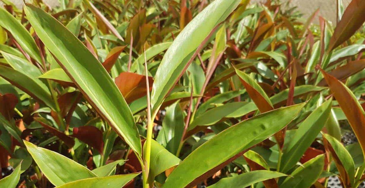 نبات الزنجبيل فوائد وأضرار وتركيب.. كل شيء عن الونجبيل