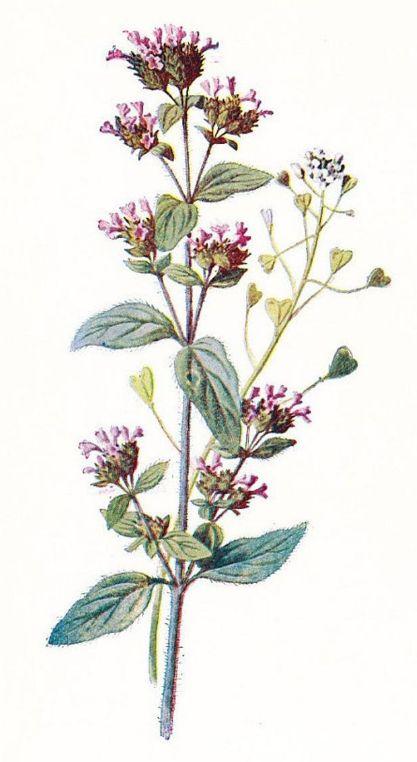 نبات البردقوش فوائده وأضراره؟