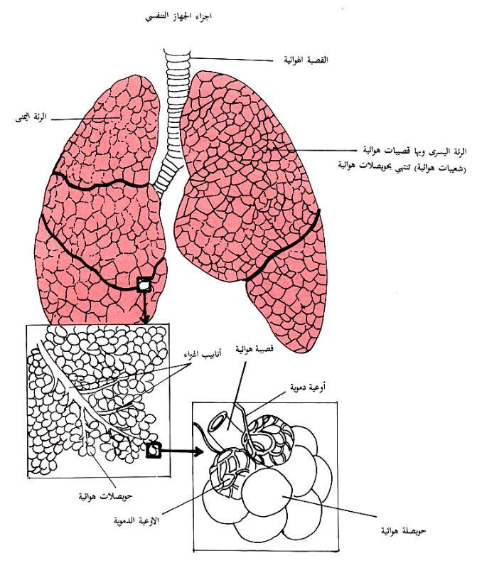 الجهاز التنفسي.. سلسلة كيف يعمل الجسم البشري كل شيء عن الجاز التنفسي عند الانسان
