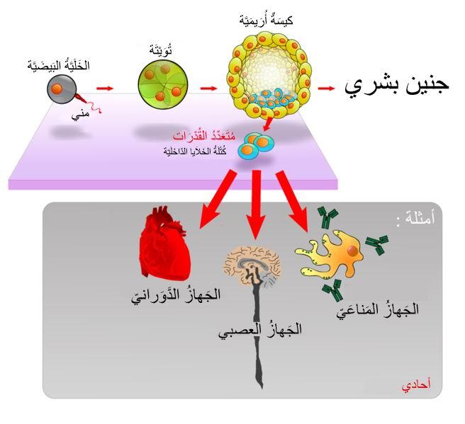 النوع الاول من الخلية الجذعية الجنينية