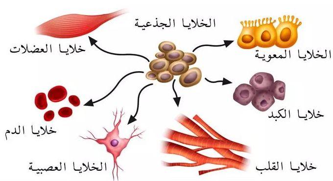 ما هي الخلية الجذعية