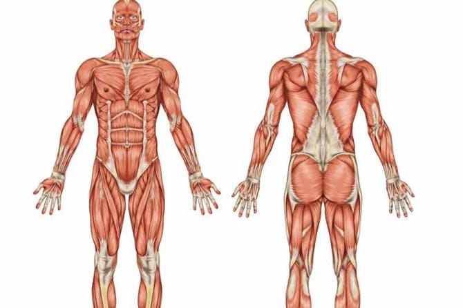 يليلة كيف يعمل جسم الانسان.. ل شيء عن الحهاز العضلي عند الانسان
