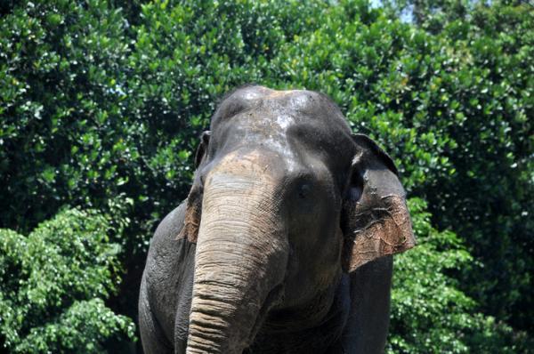 فيل سومطرة