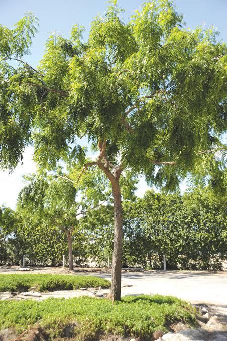 كل شيء عن شجرة النيم وما أدراك ما شجرة النيم.. مكونات وفوائد وأضرار