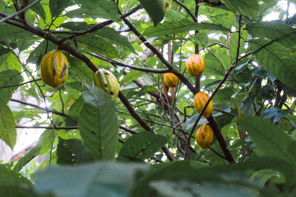 أشجار الكاكاو