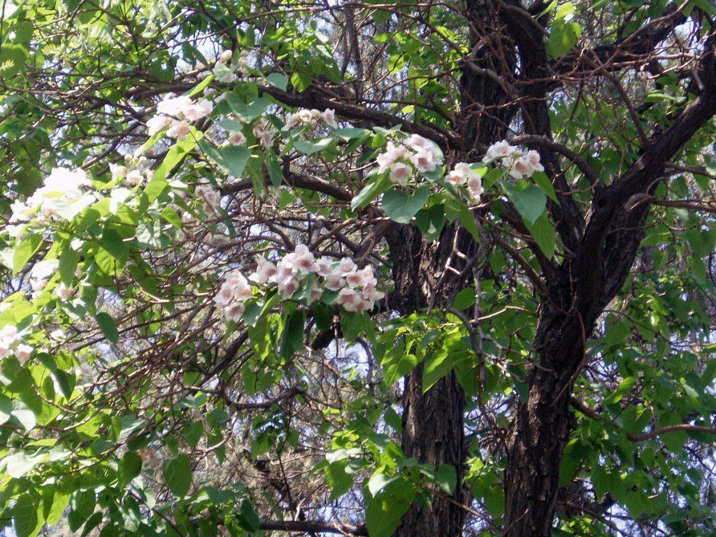 أزهار شجرة بولونيا