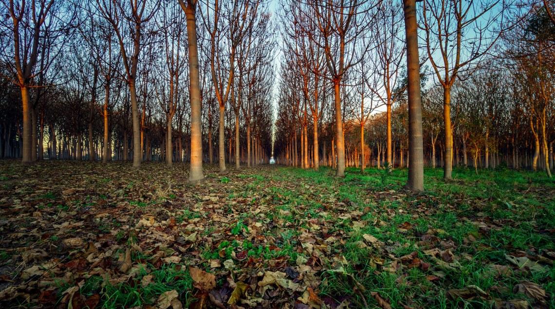 أشجار الباولونيا