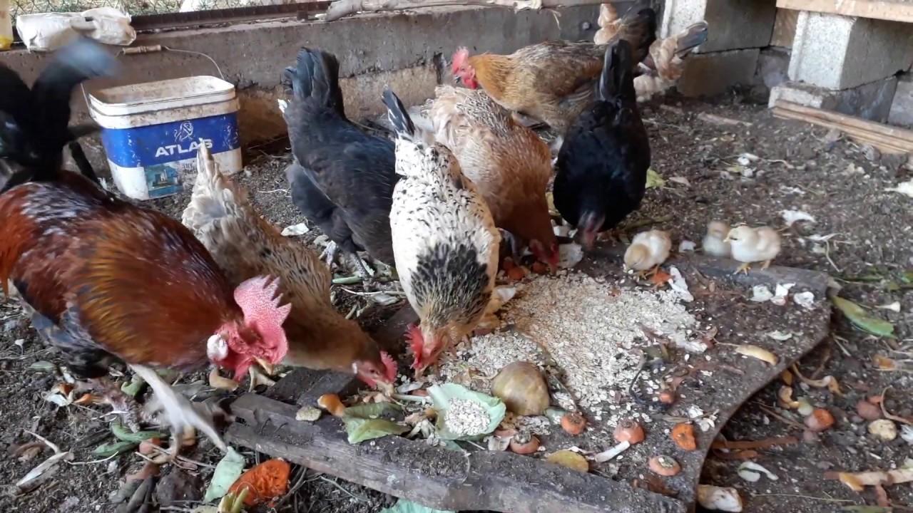 الدجاج البلدي يأكل مخلفات المطبخ