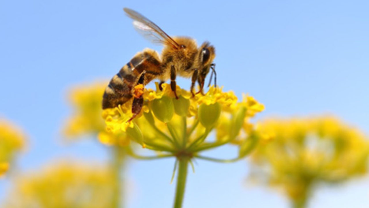 تصنيف-النحل