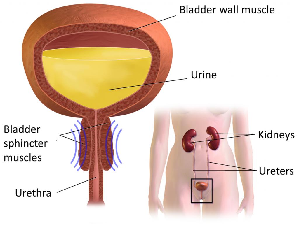 ثالثًا المثانة الجهاز البولي (Urinary Tract) (vesicaurinaria)