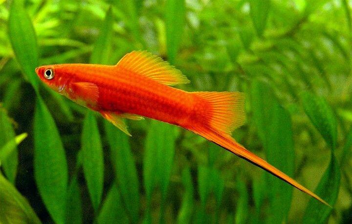 أسماك السوردتيل