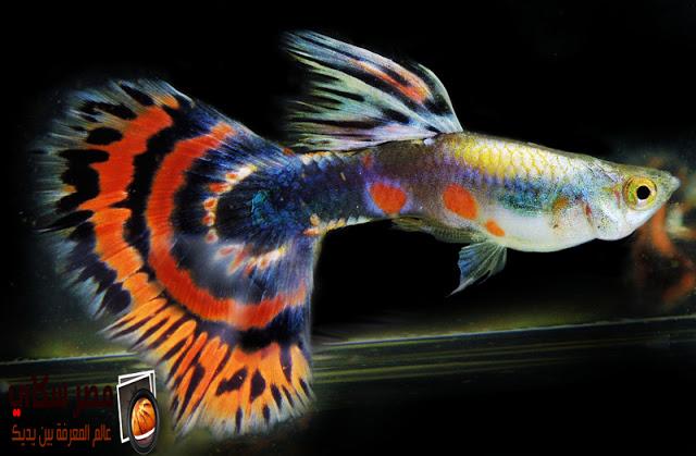 أسماك جوبي