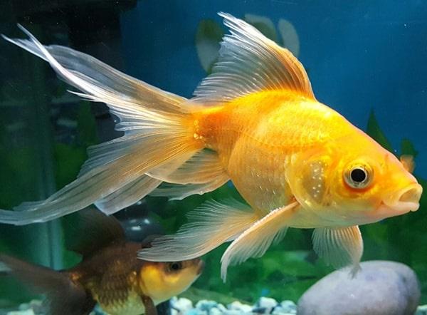 السمكة الذهبية