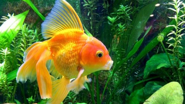 السمك الذهبي
