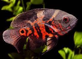 سمك أوسكار