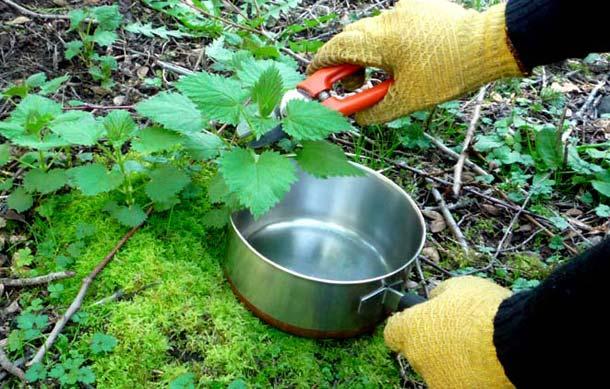 قطف اوراق نبات القراص