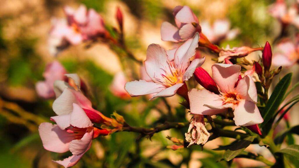 التداخلات الدوائية مع نبات الدفلة (oleander tree)