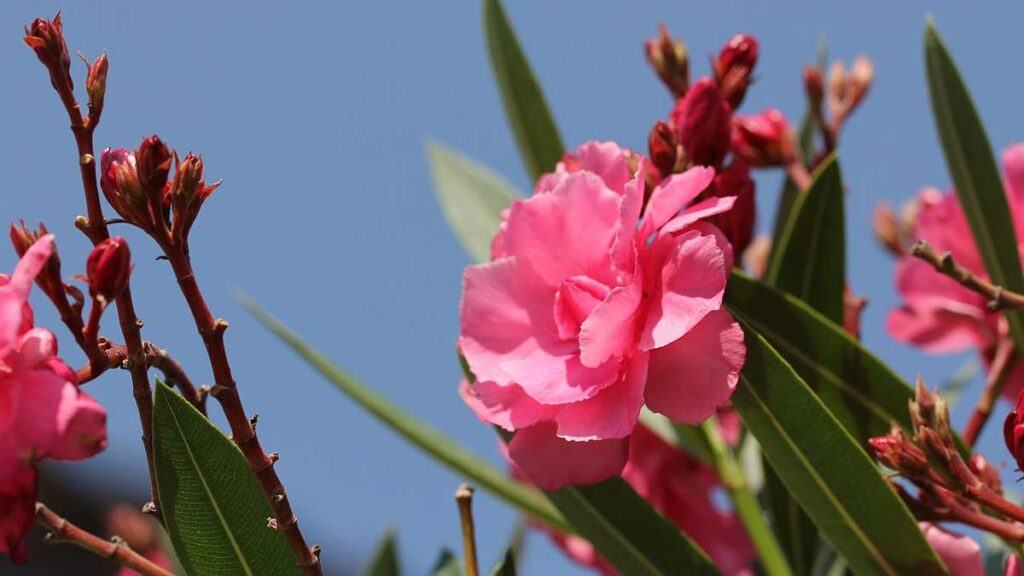 شجرة الدفلة (oleander tree) نبات سام جدًا