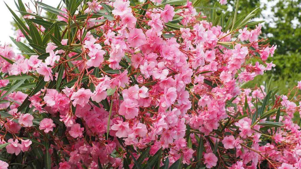 فوائد شجرة الدفلة (oleander tree) العلاجية