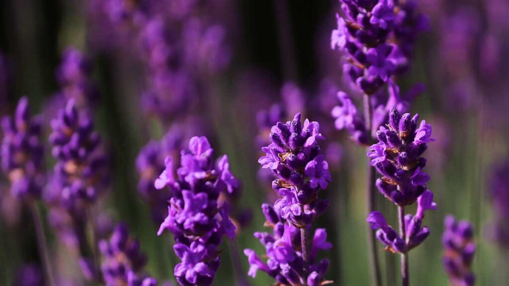 8 – اللون الأرجواني Purple