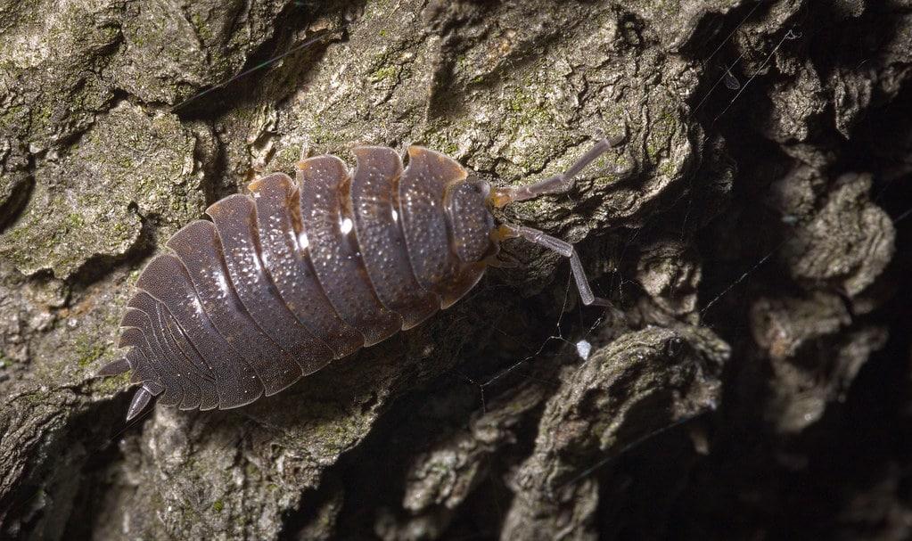 حشرة قمل الخشب الصغيرة