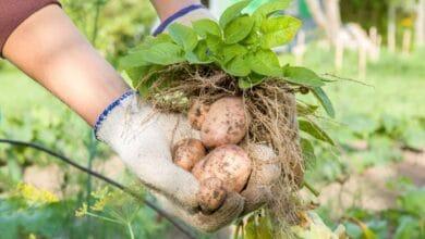 زراعة البطاطا بدون تربة