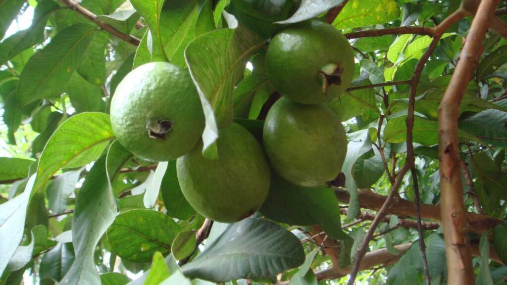 ورق الجوافة